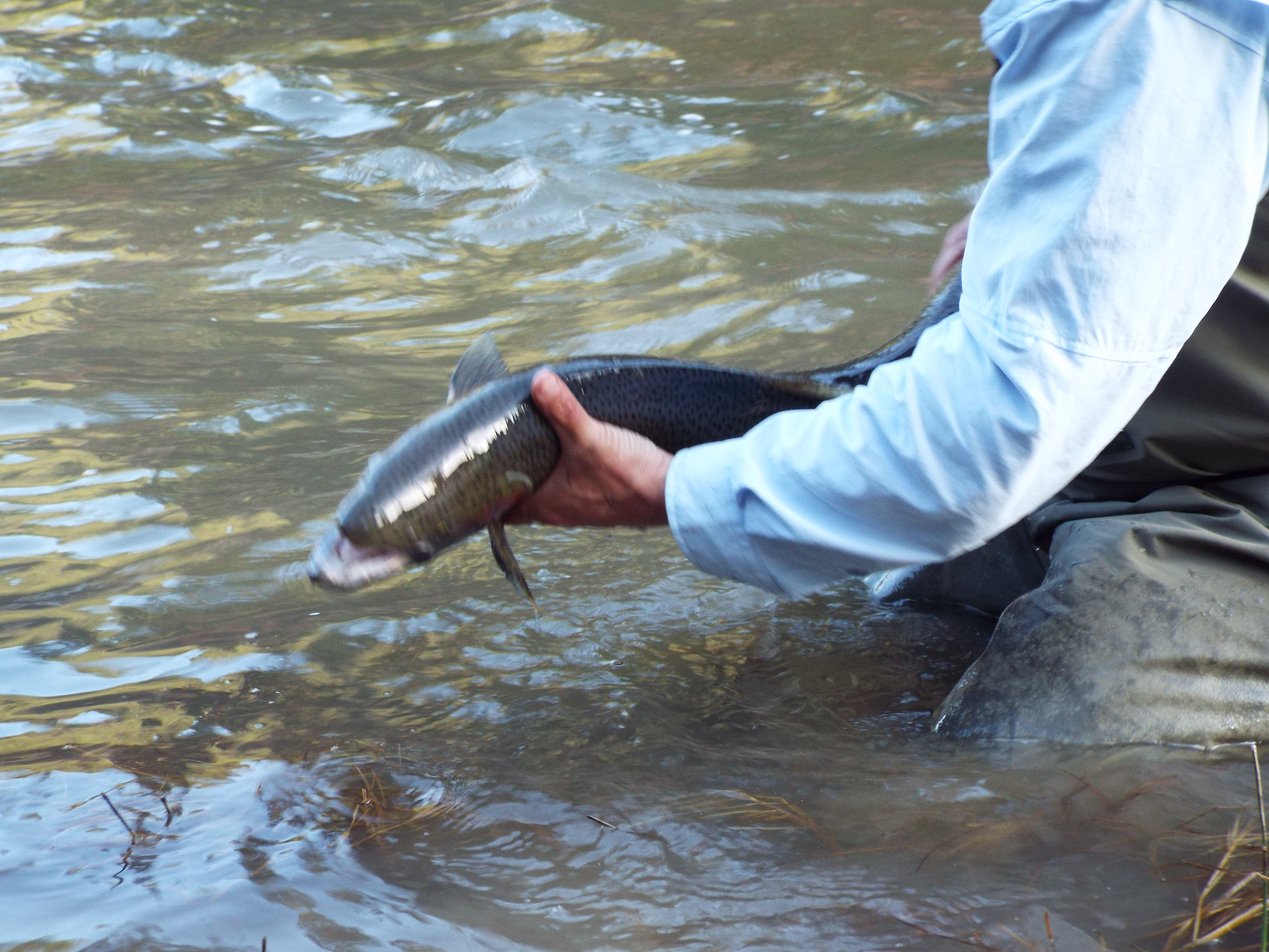 Upper salmon river weekly steelhead summary report 3 27 for Salmon river fishing reports