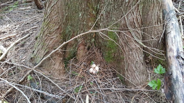 roughed grouse eggs