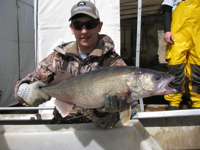 Fort Peck walleye