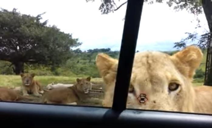 lion opens door