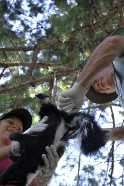To Skin a Skunk...