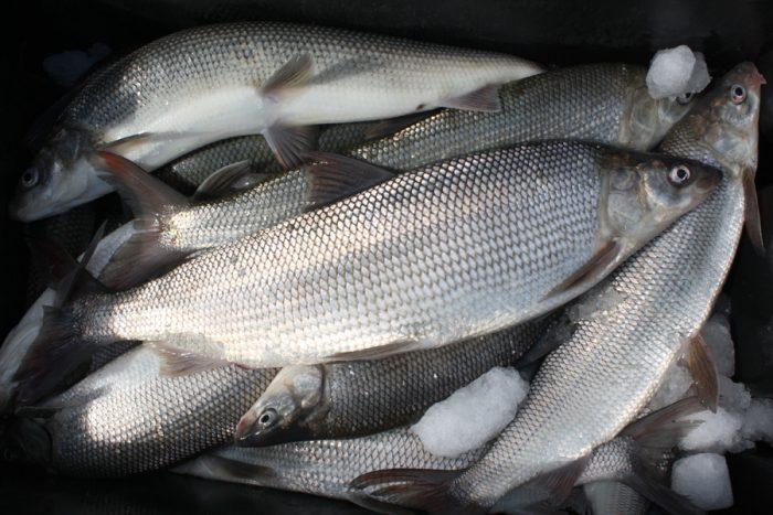 1gauthier-spaulding-whitefish-009
