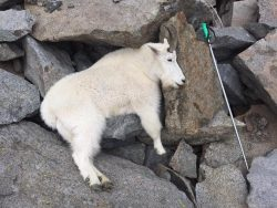 mountain-goat-on-the-rocks