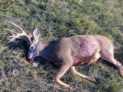 harrys-mule-deer