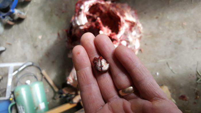Mushroomed bullet over carcass