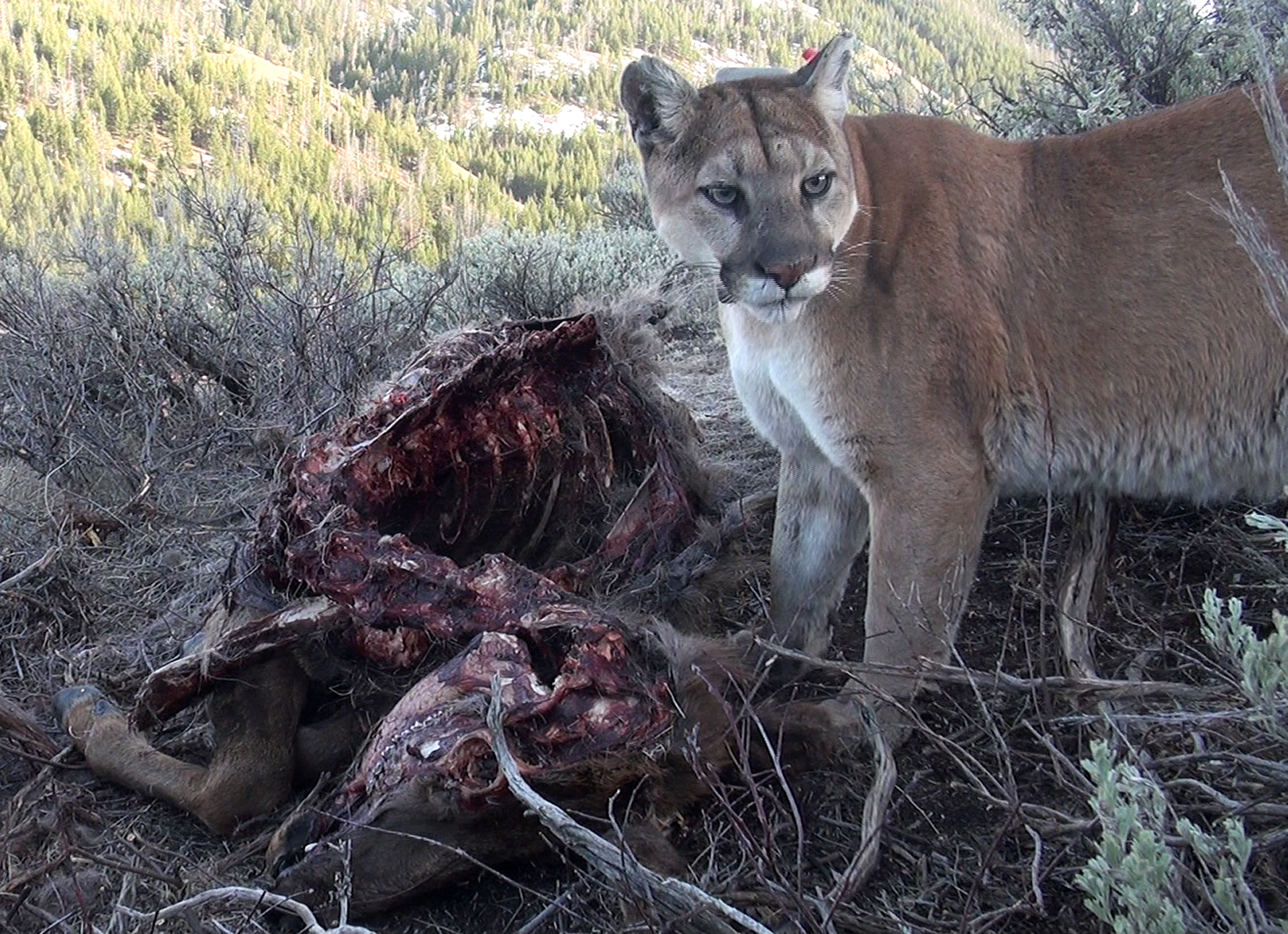 Mountain Lion Hunting Closures For Hd 404 421 444 450