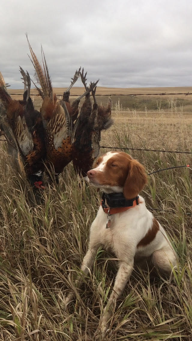 Rosie with a brace of wild roosters along a section line fence near Scobey.....