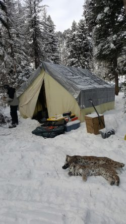 Deer c&s are set up everywhere in the country and elk c&s in the west. Weu0027ve even got fish c& bear c& and when things go right weu0027ve got moose c& ... & Cat Camp (Part 1) - Montana Hunting and Fishing Information
