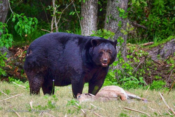 Huge Black Bear Pictures And Footage Defending Kill Video Montana Hunting And Fishing